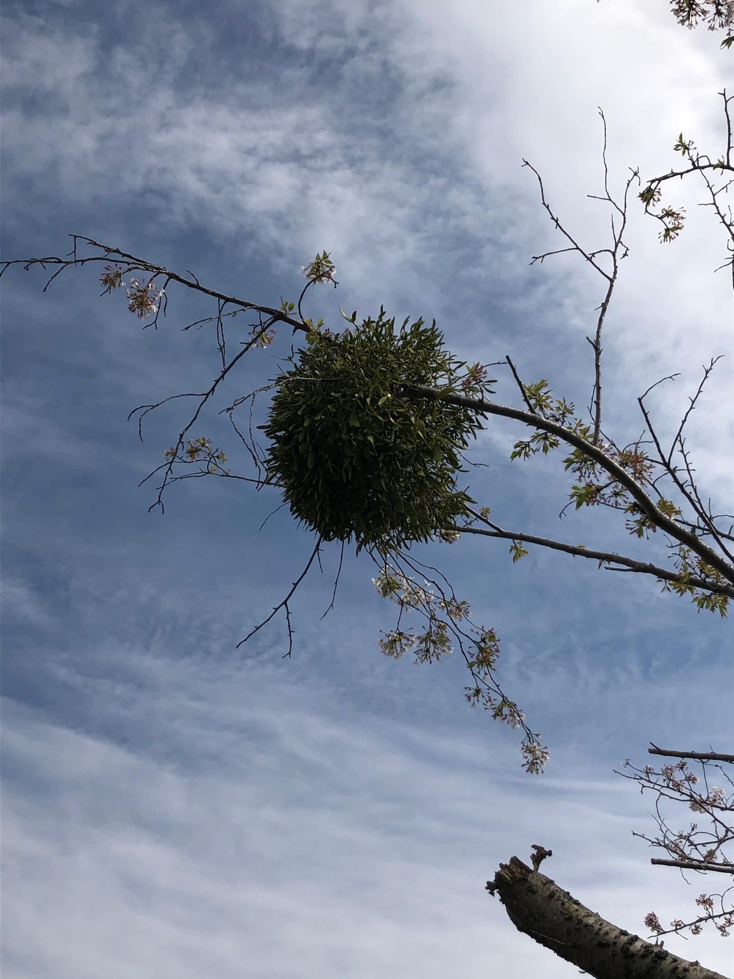 サクラと宿り木