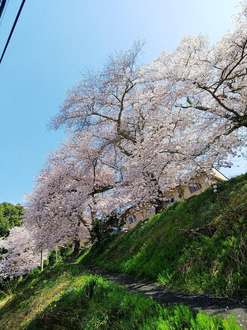 今年の桜 舞鶴にて